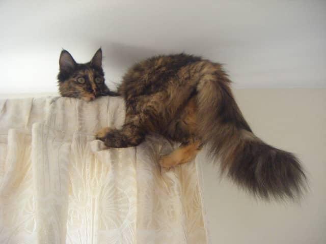 Le-chat-sait-comment-poser-des-rideaux